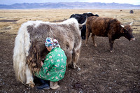 Milking the yaks
