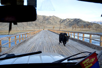 Yak on bridge out of Tsengel